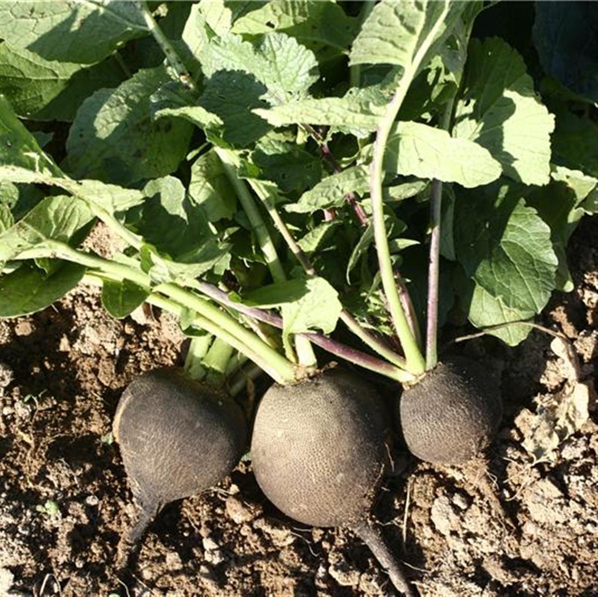 Radis noir 2 - Cuisiner un radis noir ...
